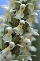 stoplamek krwisty podgatunek żółtawy (Dactylorhiza incarnata ssp. ochroleuca)