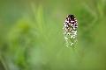 Storczyk drobnokwiatowy (Orchis ustulata) [3218]