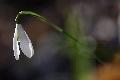 Galanthus nivalis (śnieżyczka przebiśnieg)