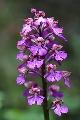storczyk purpurowy (Orchis purpurea), forma o nietypowym zabarwieniu