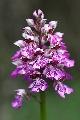 storczyk purpurowy x storczyk kukawka (Orchis x hybrida)