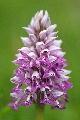 storczyk kukawka (Orchis militaris)