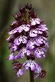 storczyk purpurowy (Orchis purpurea)